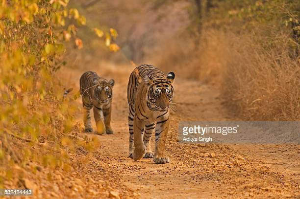 Tiger family on a forest track