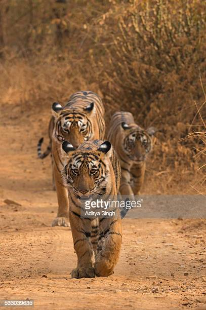 tiger family on a forest track - ranthambore national park stock pictures, royalty-free photos & images