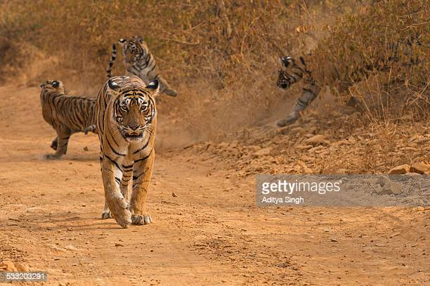 tiger family on a forest track - tiger cub stock photos and pictures