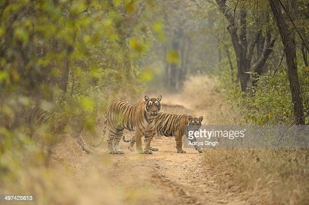 tiger family - ranthambore national park stock pictures, royalty-free photos & images