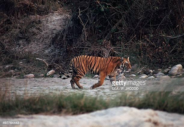Tiger Felidae Jim Corbett National Park Uttarakhand India