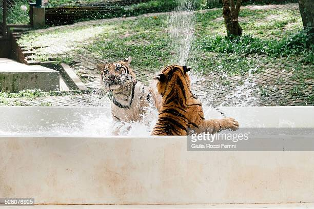 Tiger fighting