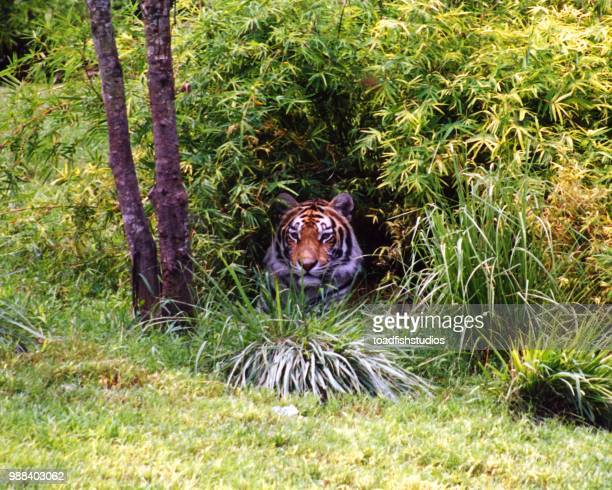 tiger fl 00 - utc−10:00 stock pictures, royalty-free photos & images