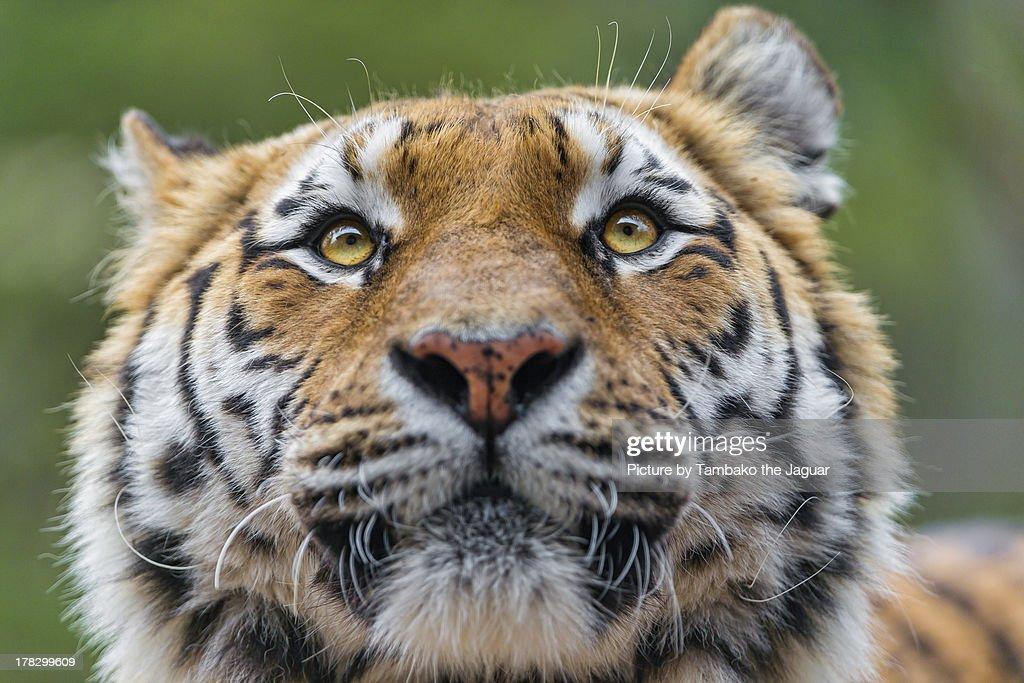 tiger funny portrait ストックフォト getty images