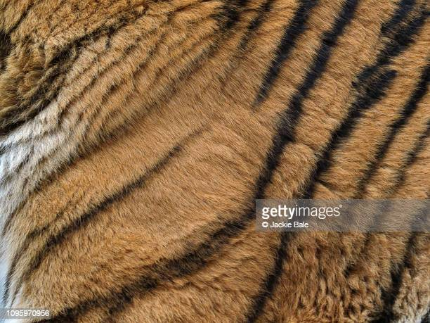 tiger fur texture - animal hair stock pictures, royalty-free photos & images