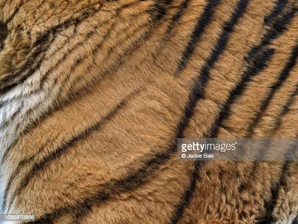 tiger fur texture - 動物の毛 ストックフォトと画像