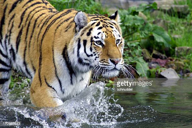 Tiger goes into the water