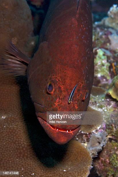 Tiger grouper face shot showing cleaning gobie on his head Mycteroperca tigris Bonaire Netherlands Antilles