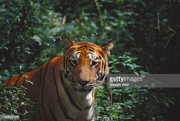 Tiger (Panthera tigris) in a forest, Bandipur National Park, Chamarajanagar, Karnataka, India