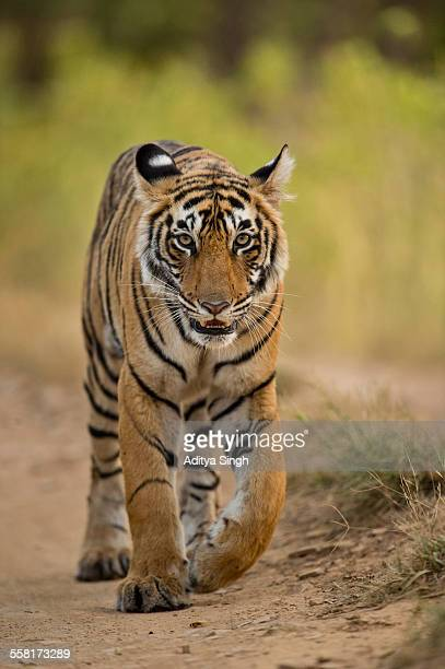 tiger in a forest - ranthambore national park stock pictures, royalty-free photos & images