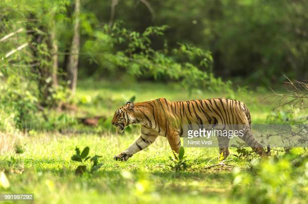 a tiger in a jungle, india. - bengal tiger stock pictures, royalty-free photos & images