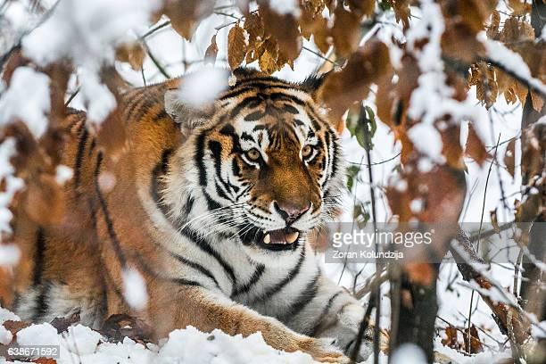 Tiger in ambush