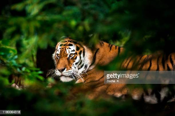 tiger in forest - tiger stock pictures, royalty-free photos & images