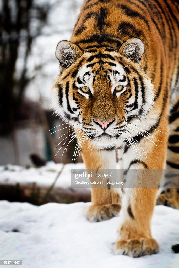 Tiger in snow : Stock Photo