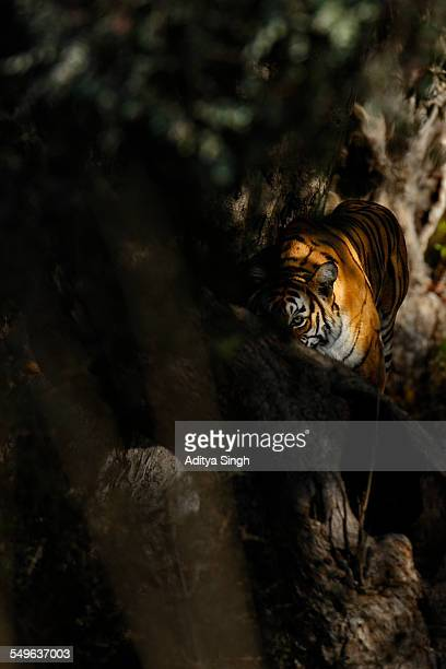 tiger in the shadows - dark panthera stock pictures, royalty-free photos & images
