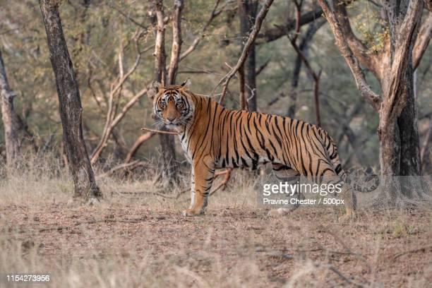tiger in the wild - bengal tiger stock pictures, royalty-free photos & images