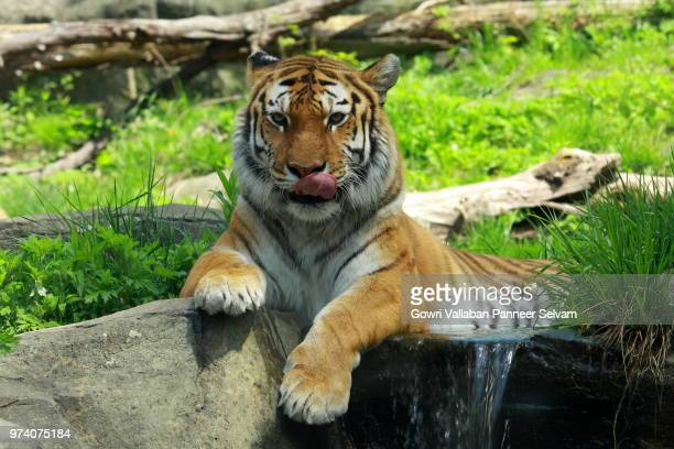 tiger in zoo, bronx zoo, new york, usa - big cat stock pictures, royalty-free photos & images