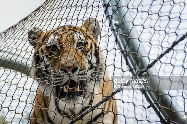 tiger in zoo - animales en cautiverio fotografías e imágenes de stock
