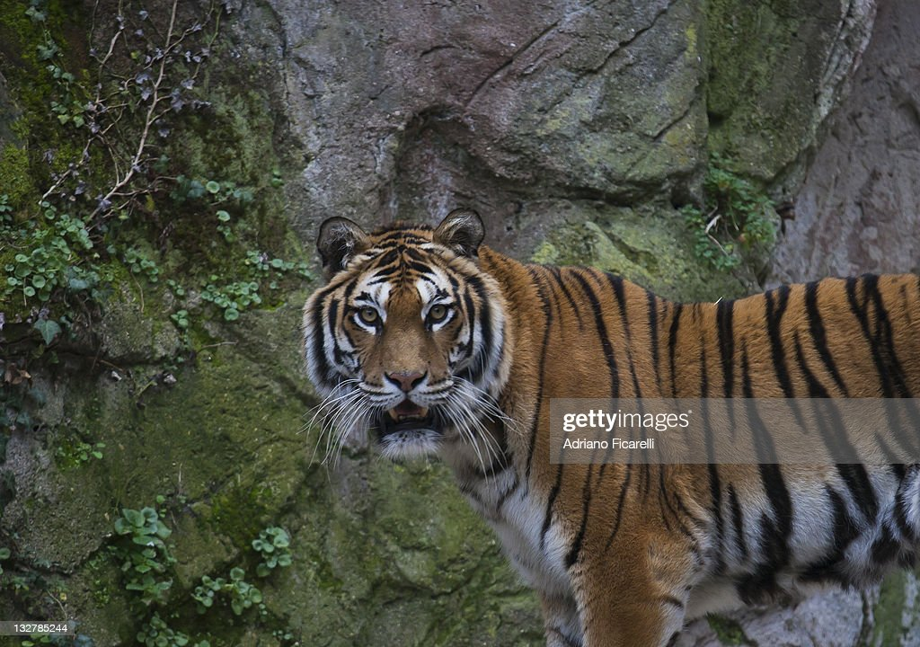 Tiger in zoo : Foto stock