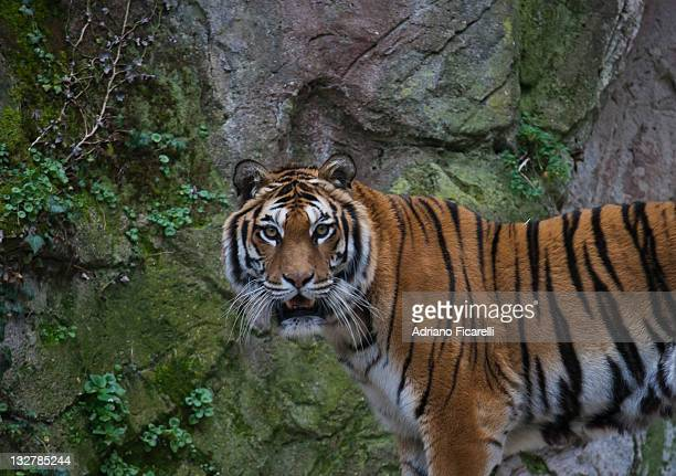 tiger in zoo - adriano ficarelli stock pictures, royalty-free photos & images