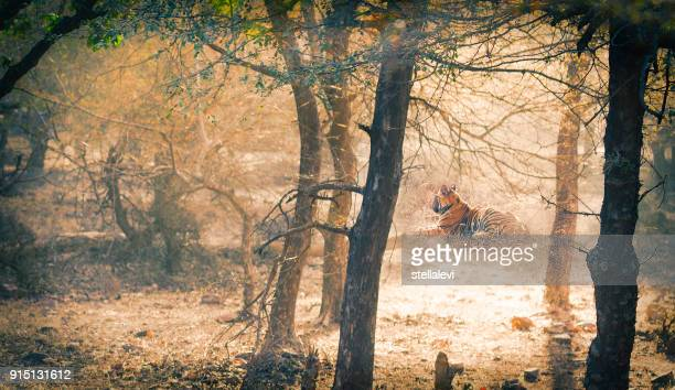 tiger.  india - ranthambore national park stock pictures, royalty-free photos & images