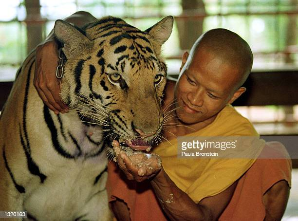 Tiger is fed a meal of dog food and chicken bones June 5, 2001 at the Wat Pa Luangta Bua monastery in Kanchanaburi, Thailand. Eight tigers have been...