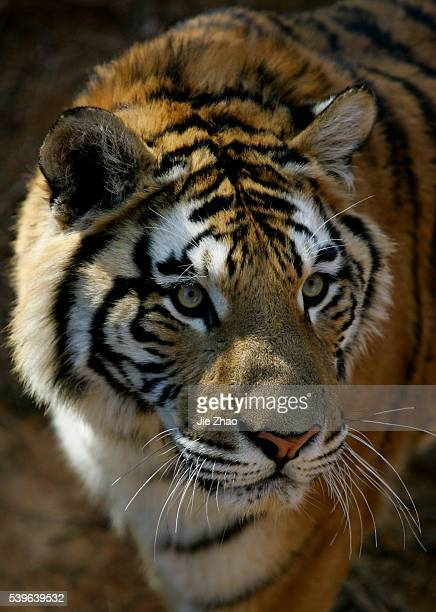 A tiger is seen at a zoo in Kunming Yunnan province February 3 2010 According to the Chinese lunar calendar the Year of The Tiger begins on February...