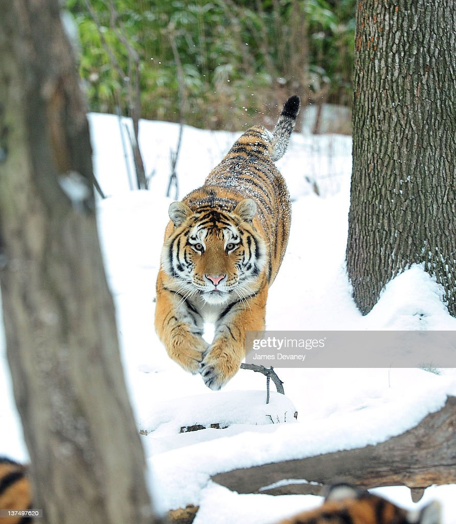 A tiger is seen at the Bronx Zoo after a snow storm on January 21, 2012 in the Bronx borough of New York City.