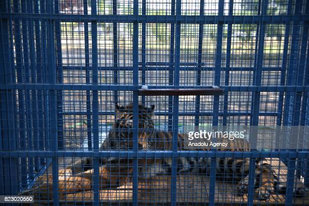 Tiger is seen in a cage in Bursa, Turkey on July 26, 2017. Three lions, two tigers, two hyenas and two bears transferred to animal facilities in...