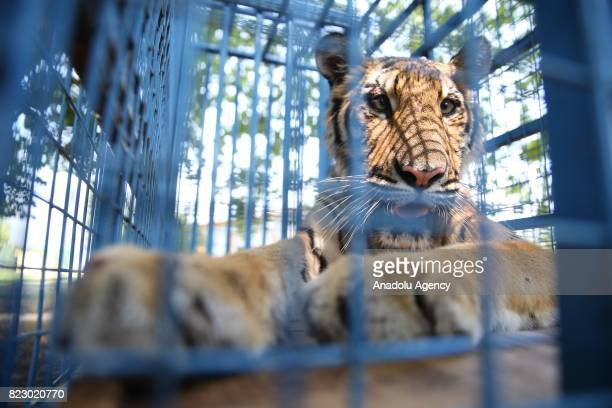 A tiger is seen in a cage in Bursa Turkey on July 26 2017 Three lions two tigers two hyenas and two bears transferred to animal facilities in...