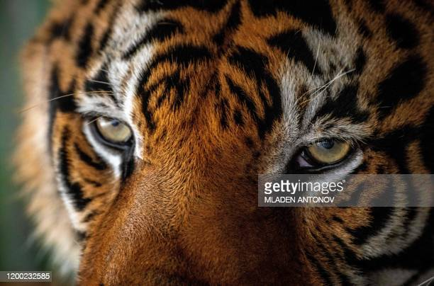 A tiger is seen in Chang Siam Park in Pattaya on February 12 2020
