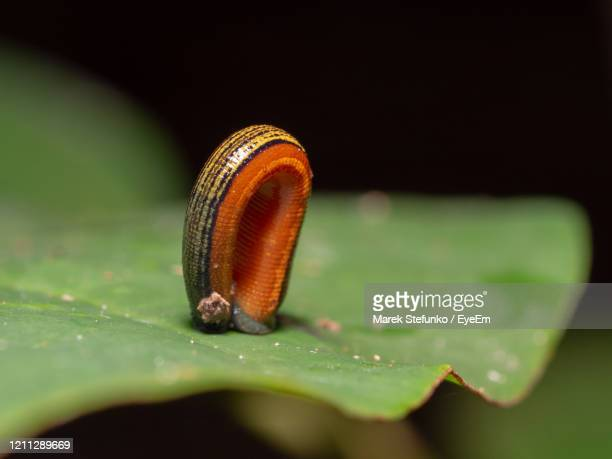 tiger leech - haemadipsa picta in kinabatangan wildlife sanctuary, borneo - marek stefunko stock pictures, royalty-free photos & images