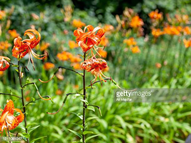 Tiger Lily Bouquets Stock Pictures Royalty Free Photos Images