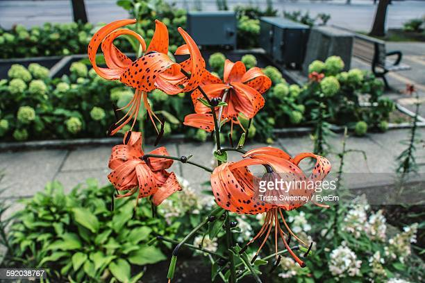 Tiger Lily Growing On Plant At Park