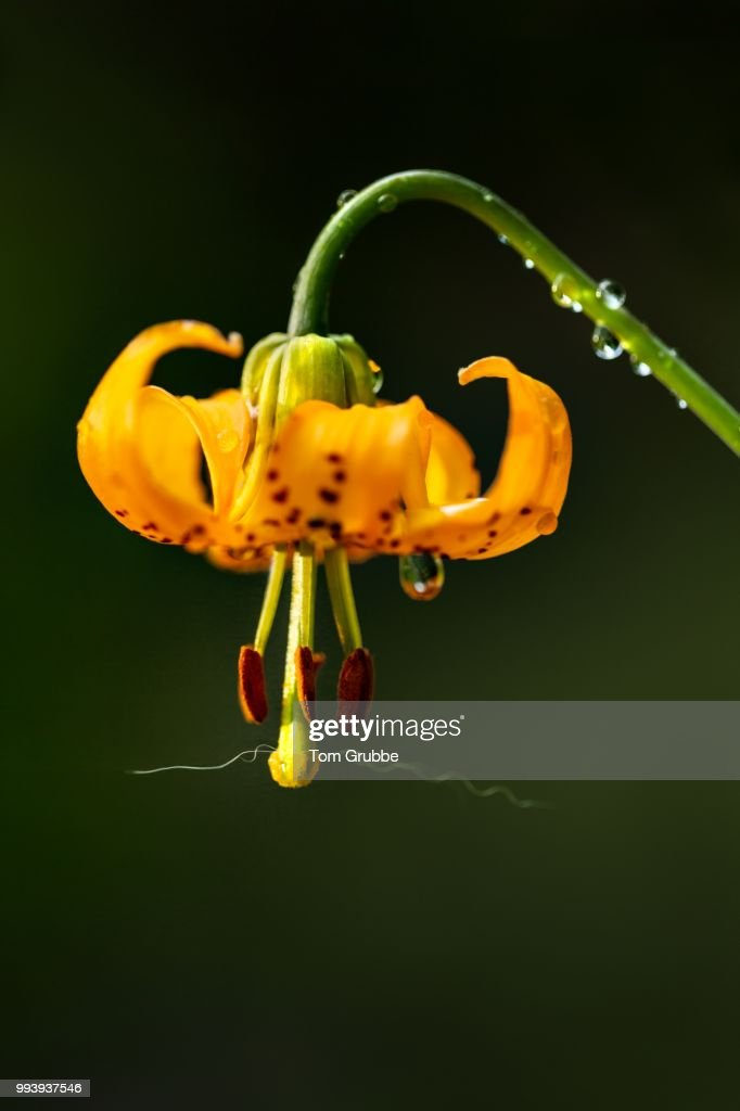 Tiger Lily II : Stock Photo