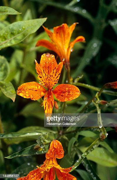 Tiger lily South Africa
