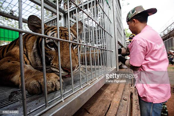 Tiger looks one as a Thai DNP veterinarian officer assist it at the Wat Pha Luang Ta Bua Tiger Temple on June 1, 2016 in Kanchanaburi province,...