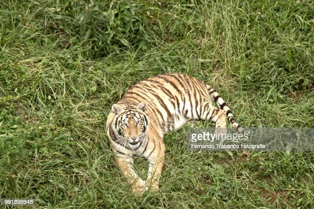 Tiger lying on the grass