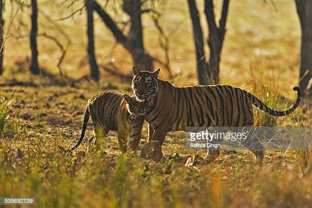 tiger mother and cub bonding - tiger cub stock photos and pictures