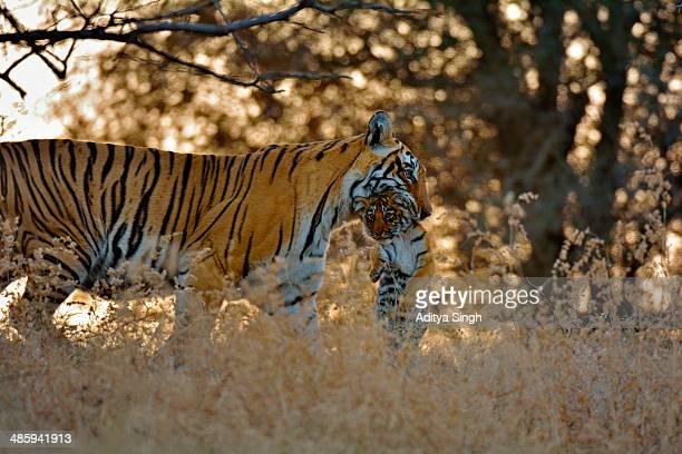 tiger mother and cub - くわえる ストックフォトと画像