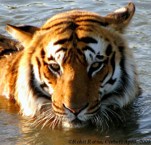 Tiger -Mug Shot