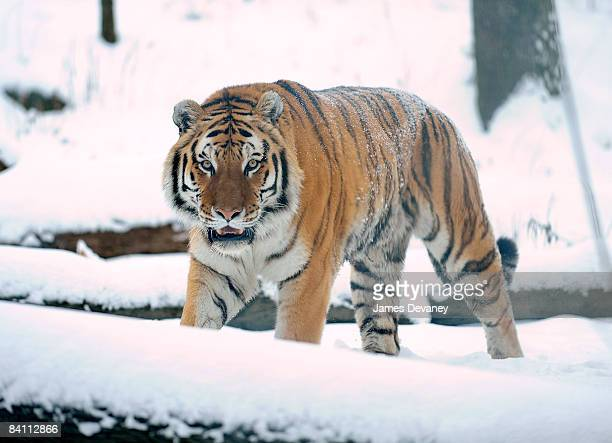A tiger named Sasha enjoys the seasons first snow storm at the Bronx Zoo on December 20 2008 in New York City