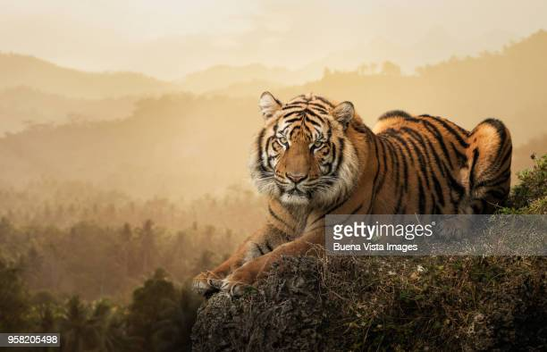tiger on a rock - tiger stock pictures, royalty-free photos & images
