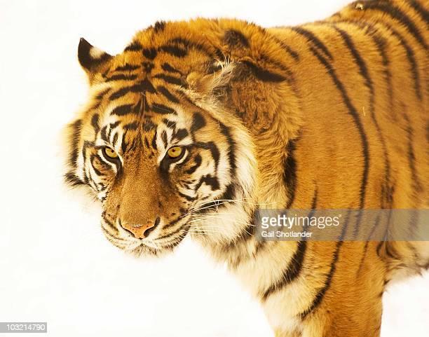 Tiger on White
