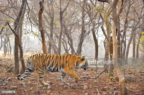 tiger panthera tigris tigris moving in forest, ranthambore national park, rajasthan, india - ranthambore national park stock pictures, royalty-free photos & images
