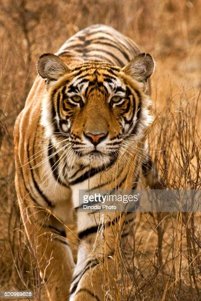 tiger panthera tigris tigris stalking in grasses of deciduous forest, ranthambore national park, rajasthan, india - ranthambore national park stock pictures, royalty-free photos & images