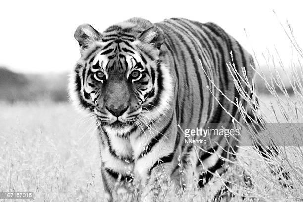 tiger, panthera tigris, walking toward camera - tiger stock pictures, royalty-free photos & images