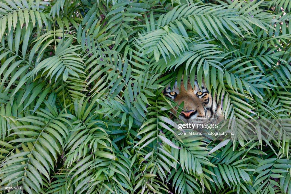 Tiger peering through dense forest. : Stock Photo