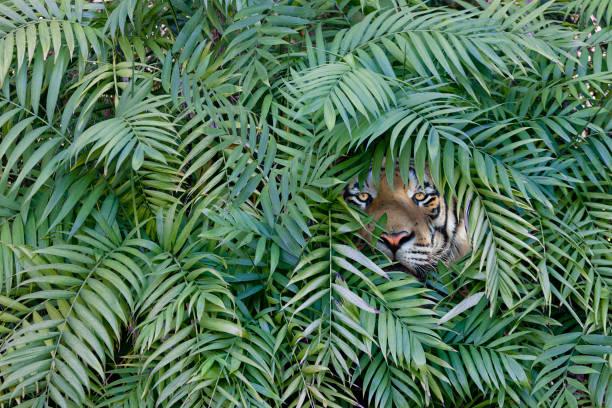Tiger peering through dense forest