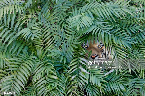 Tiger peering through dense forest.